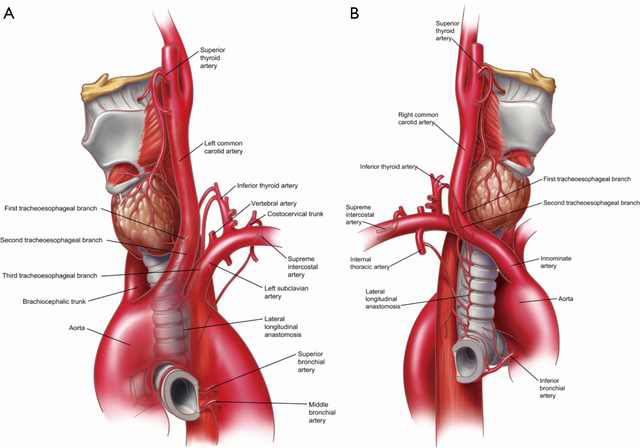 Surgical Anatomy Of The Trachea Furlow Annals Of Cardiothoracic