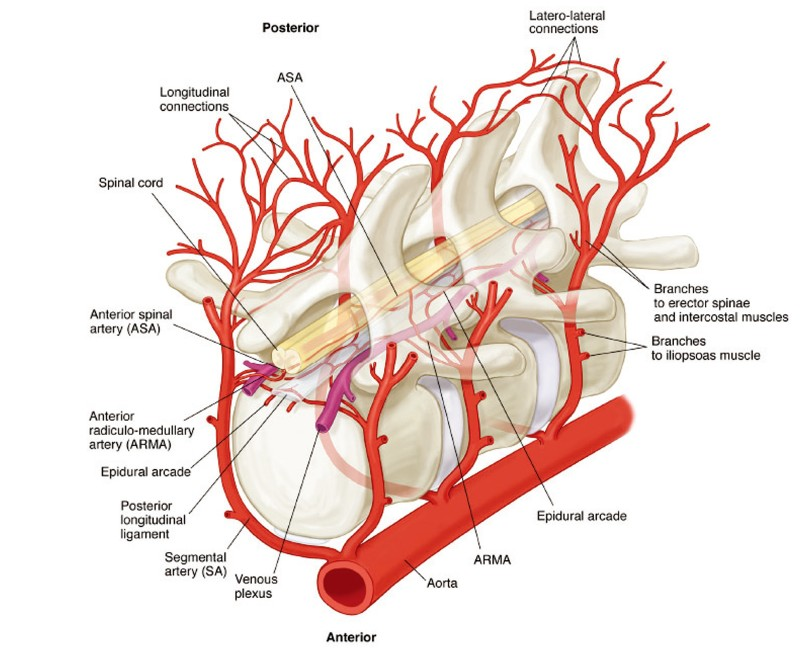 The Anatomy Of The Spinal Cord Collateral Circulation Griepp